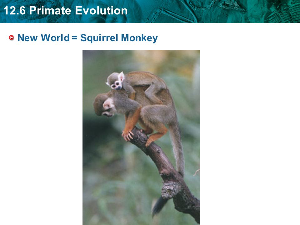 12.6 Primate Evolution New World = Squirrel Monkey