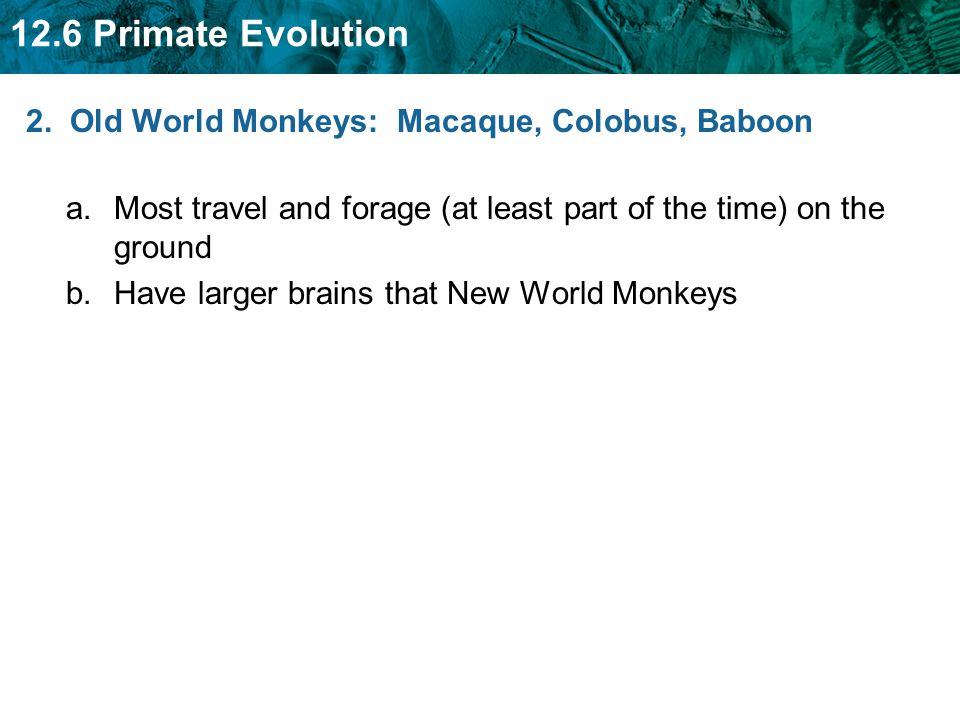 12.6 Primate Evolution 2. Old World Monkeys: Macaque, Colobus, Baboon a.Most travel and forage (at least part of the time) on the ground b.Have larger