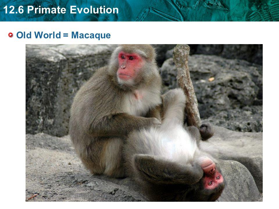 12.6 Primate Evolution Old World = Macaque