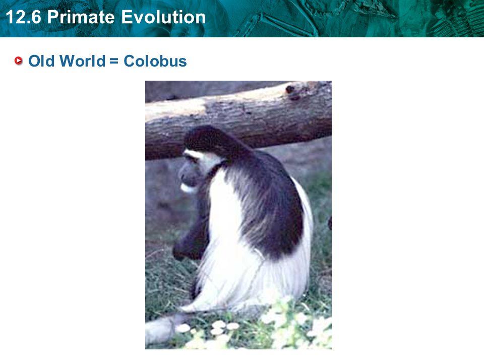 12.6 Primate Evolution Old World = Colobus
