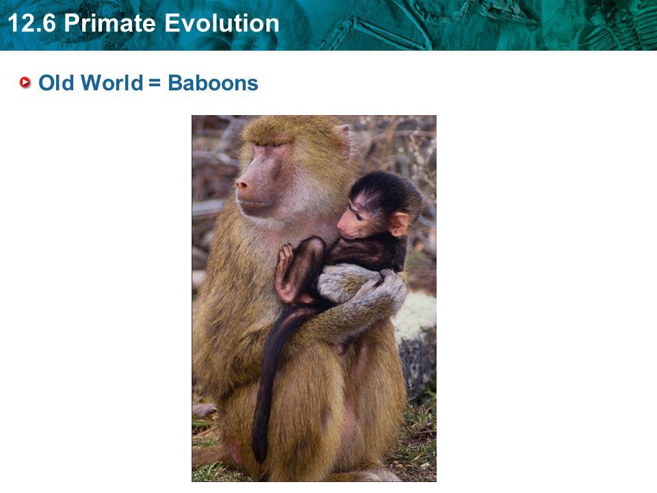 12.6 Primate Evolution Old World = Baboons