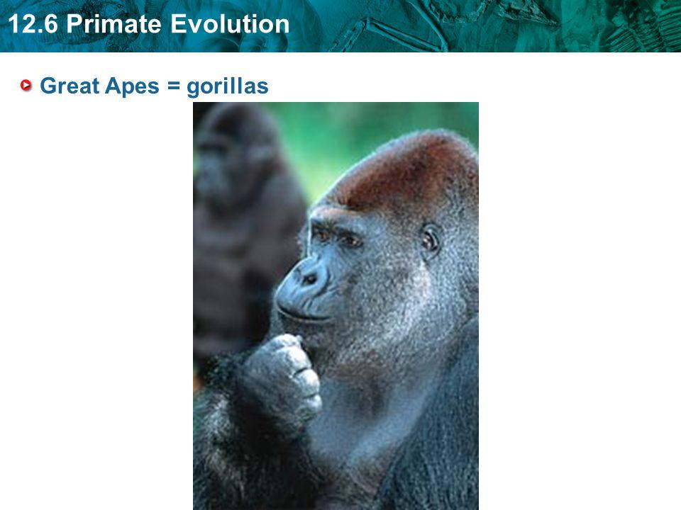 12.6 Primate Evolution Great Apes = gorillas