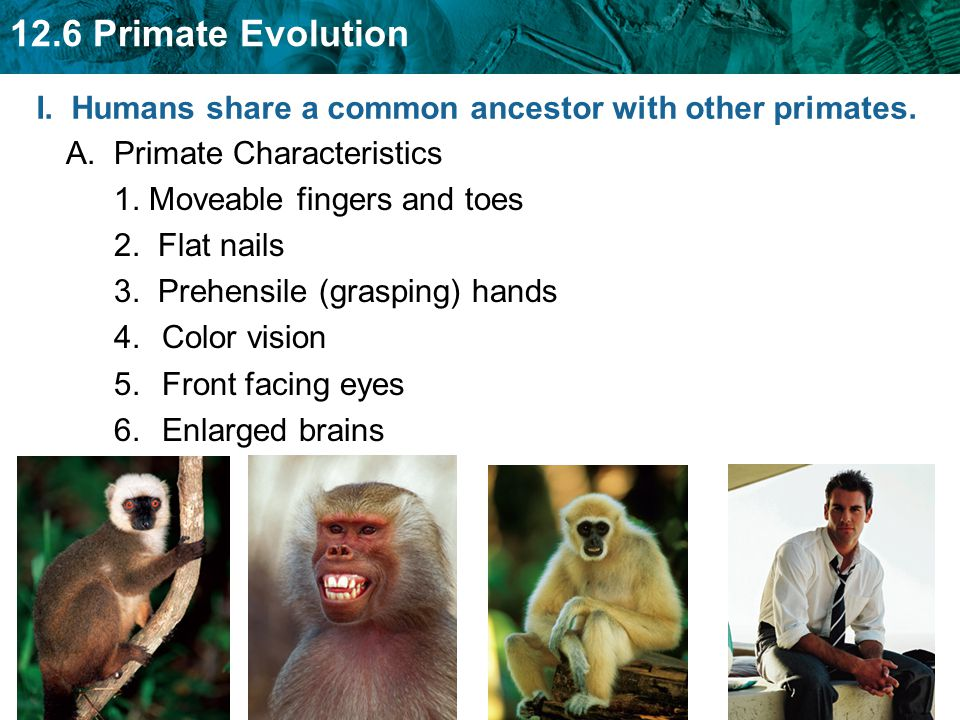 12.6 Primate Evolution I. Humans share a common ancestor with other primates. A. Primate Characteristics 1. Moveable fingers and toes 2. Flat nails 3.