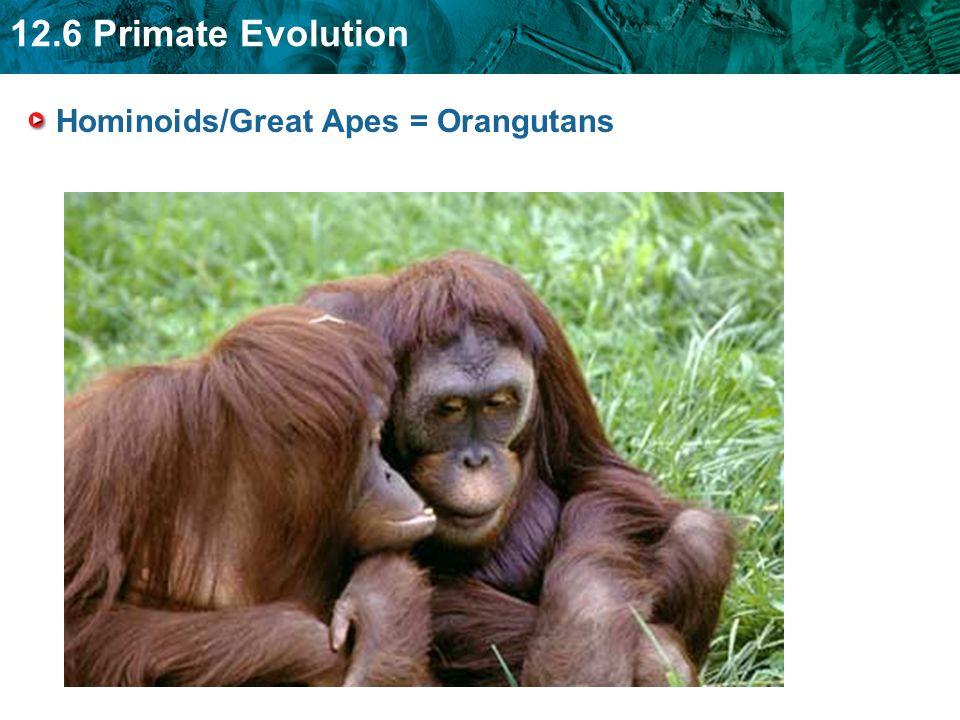 12.6 Primate Evolution Hominoids/Great Apes = Orangutans