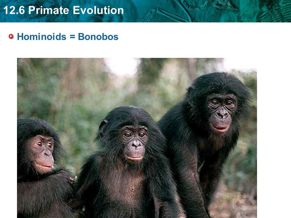 12.6 Primate Evolution Hominoids = Bonobos
