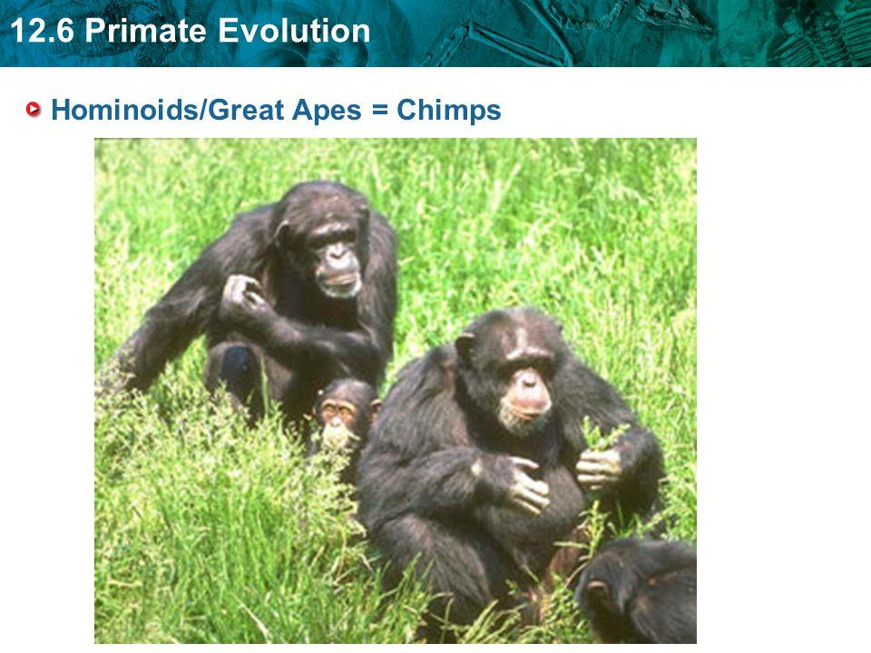 12.6 Primate Evolution Hominoids/Great Apes = Chimps