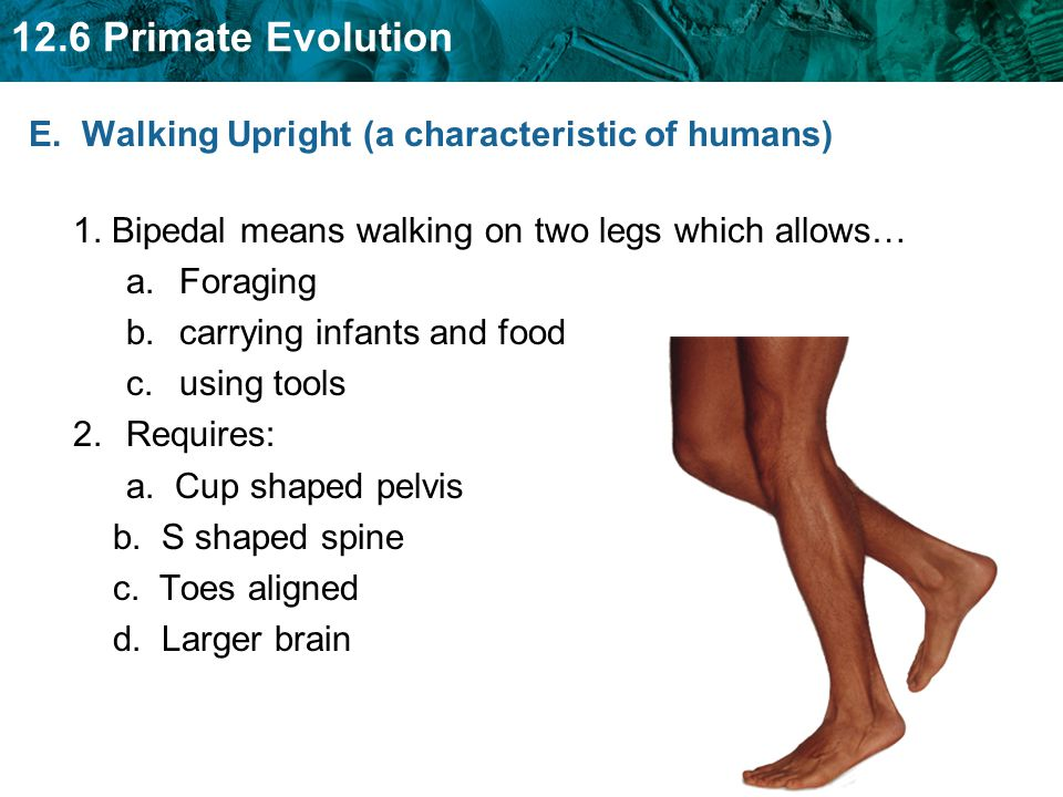 12.6 Primate Evolution E. Walking Upright (a characteristic of humans) 1. Bipedal means walking on two legs which allows… a.Foraging b.carrying infant