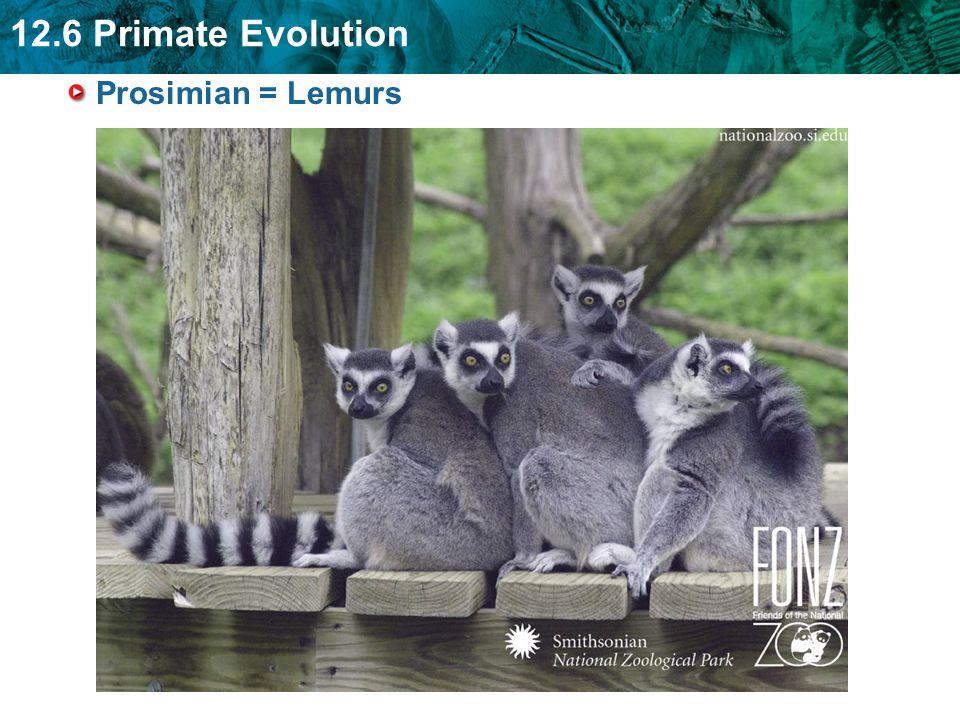 12.6 Primate Evolution Prosimian = Lemurs