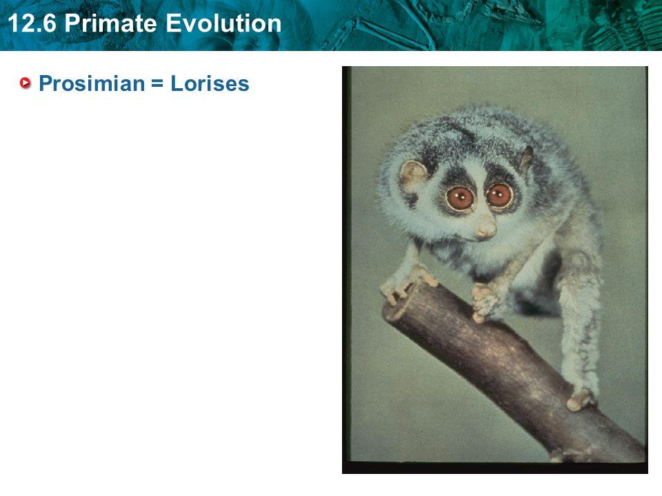 12.6 Primate Evolution Prosimian = Lorises