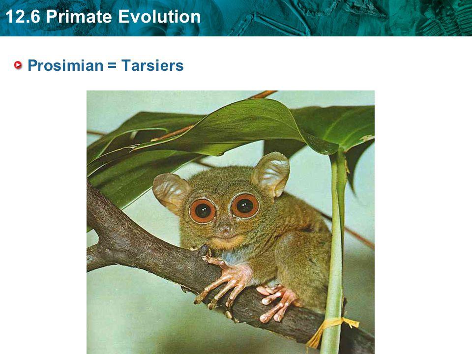 12.6 Primate Evolution Prosimian = Tarsiers