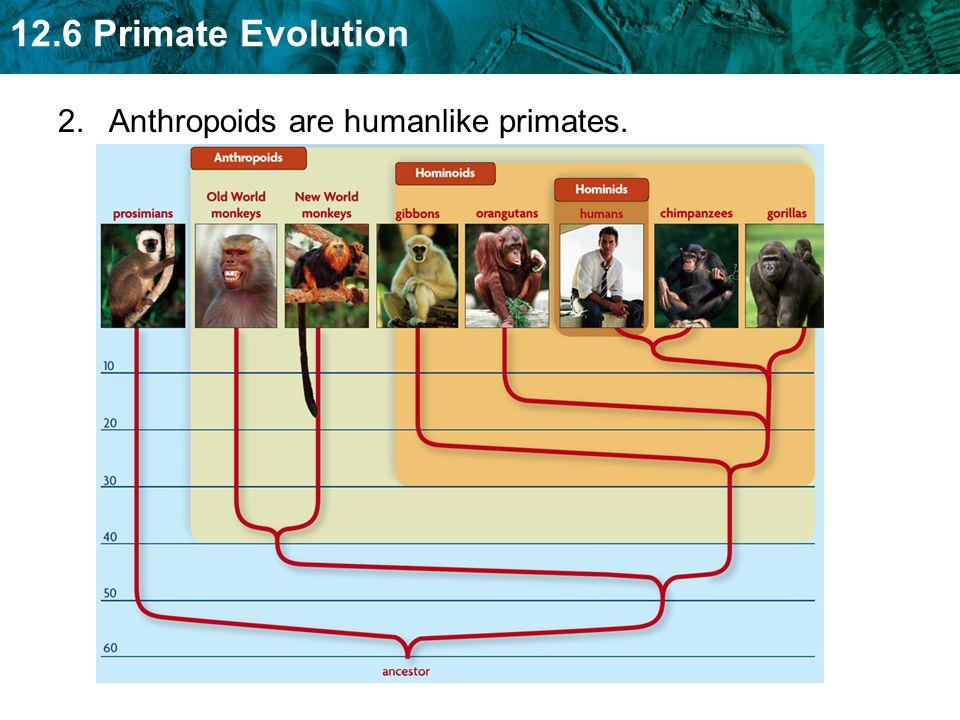 12.6 Primate Evolution 2. Anthropoids are humanlike primates.