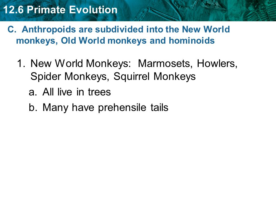 12.6 Primate Evolution 1.New World Monkeys: Marmosets, Howlers, Spider Monkeys, Squirrel Monkeys a.All live in trees b.Many have prehensile tails C. A