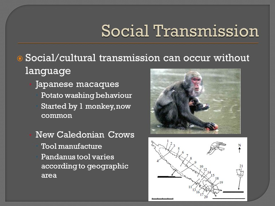  Social/cultural transmission can occur without language Japanese macaques  Potato washing behaviour  Started by 1 monkey, now common New Caledonian Crows  Tool manufacture  Pandanus tool varies according to geographic area