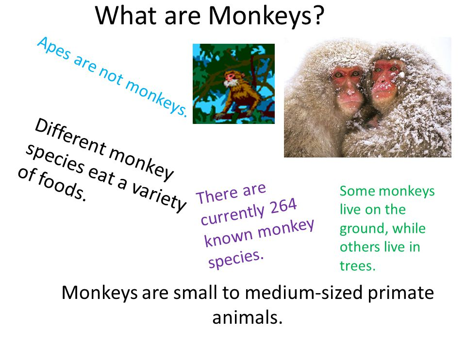 What are Monkeys? Monkeys are small to medium-sized primate animals. There are currently 264 known monkey species. Apes are not monkeys. Different mon