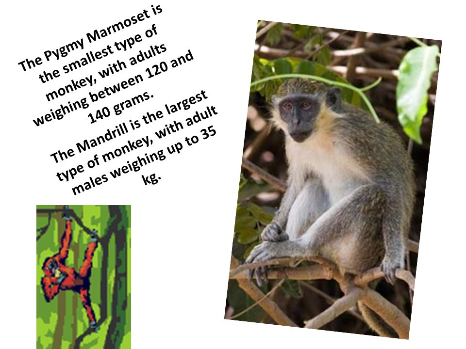 The Pygmy Marmoset is the smallest type of monkey, with adults weighing between 120 and 140 grams. The Mandrill is the largest type of monkey, with ad