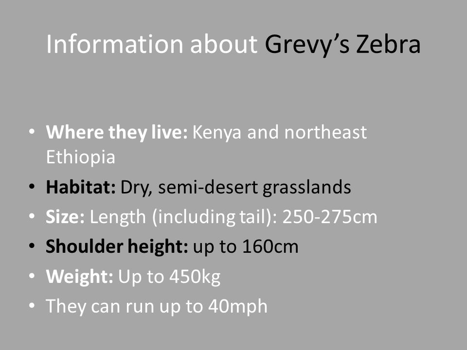 Information about Grevy's Zebra Where they live: Kenya and northeast Ethiopia Habitat: Dry, semi-desert grasslands Size: Length (including tail): 250-