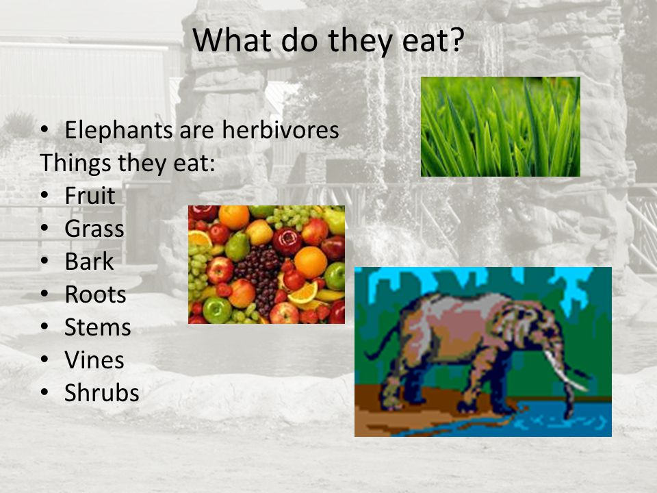 What do they eat? Elephants are herbivores Things they eat: Fruit Grass Bark Roots Stems Vines Shrubs