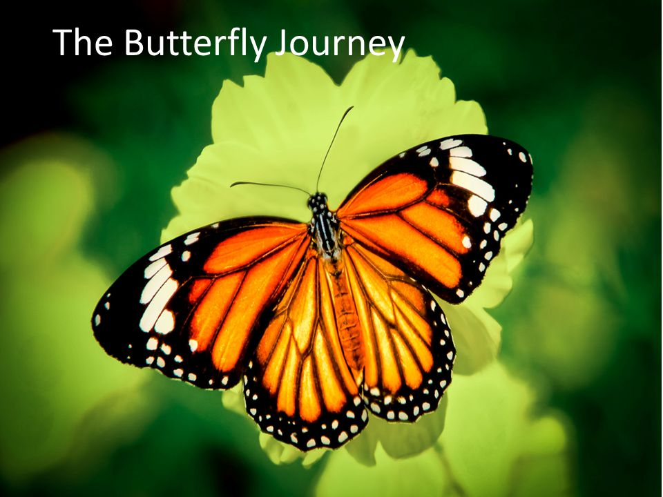 The Butterfly Journey
