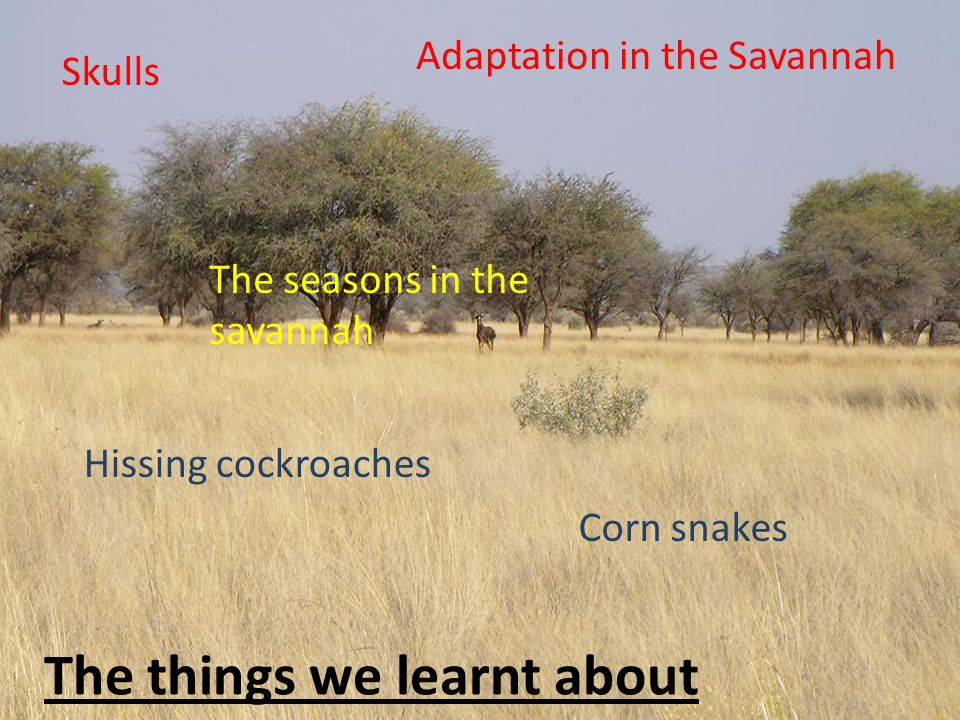 The things we learnt about Skulls Adaptation in the Savannah Hissing cockroaches The seasons in the savannah Corn snakes
