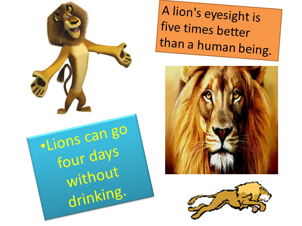 Lions can go four days without drinking. A lion's eyesight is five times better than a human being.
