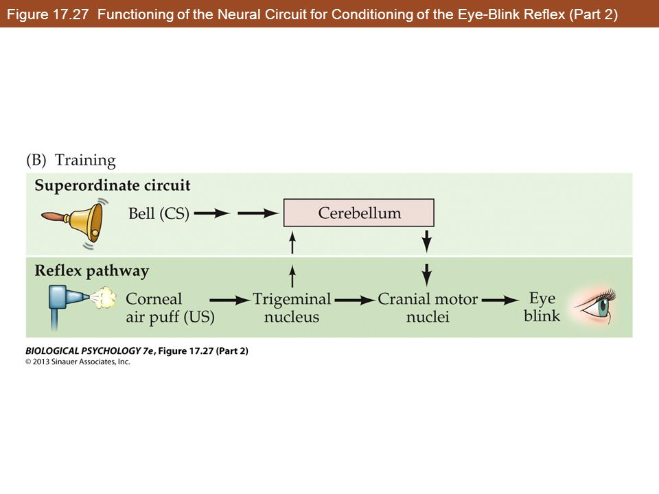 Figure 17.27 Functioning of the Neural Circuit for Conditioning of the Eye-Blink Reflex (Part 2)