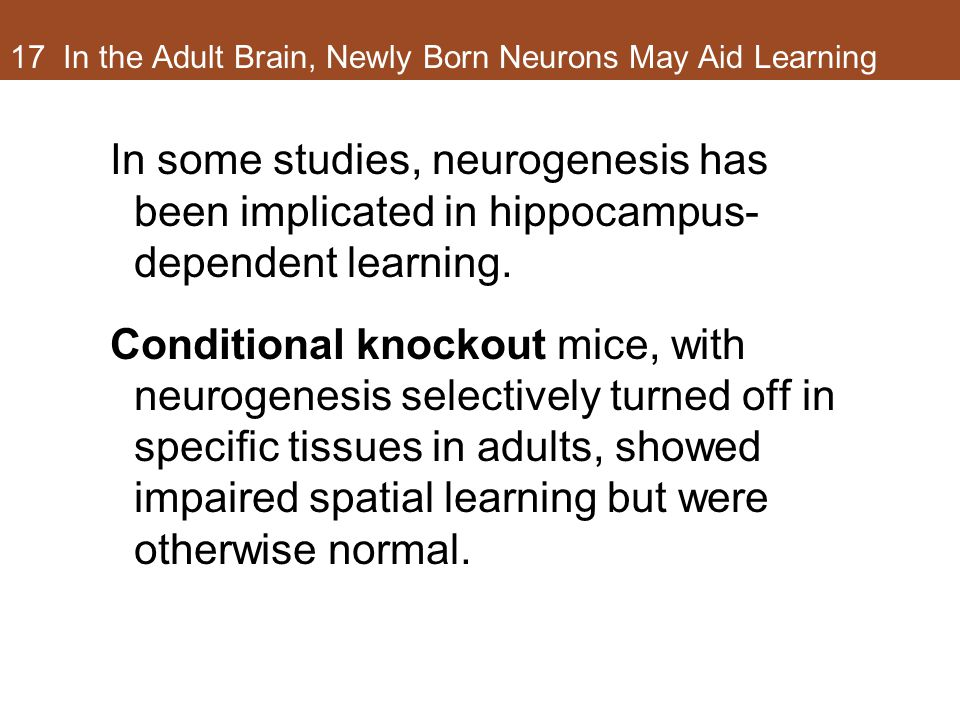 17 In the Adult Brain, Newly Born Neurons May Aid Learning In some studies, neurogenesis has been implicated in hippocampus- dependent learning. Condi