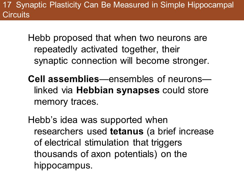 17 Synaptic Plasticity Can Be Measured in Simple Hippocampal Circuits Hebb proposed that when two neurons are repeatedly activated together, their synaptic connection will become stronger.