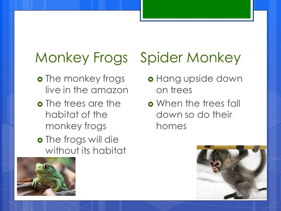 Monkey Frogs Spider Monkey  The monkey frogs live in the amazon  The trees are the habitat of the monkey frogs  The frogs will die without its habitat  Hang upside down on trees  When the trees fall down so do their homes
