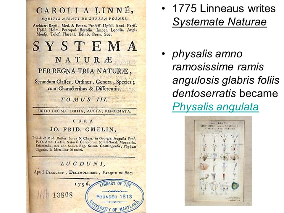 1775 Linneaus writes Systemate Naturae physalis amno ramosissime ramis angulosis glabris foliis dentoserratis became Physalis angulata Physalis angulata