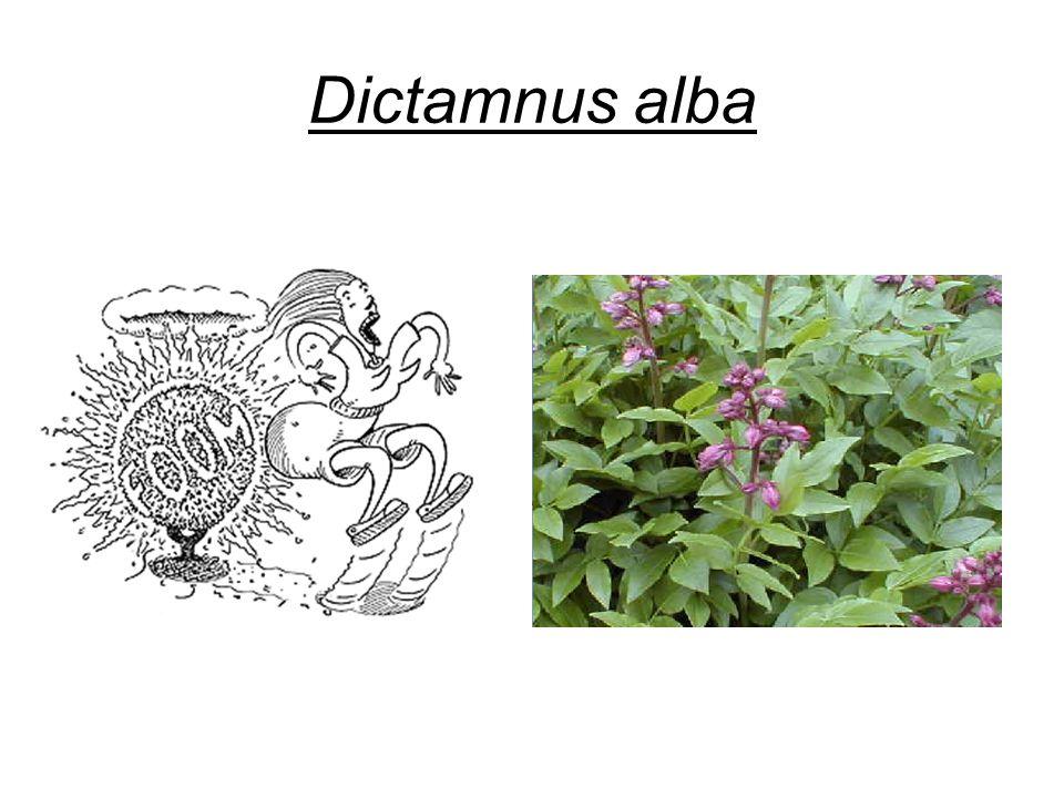 Dictamnus alba