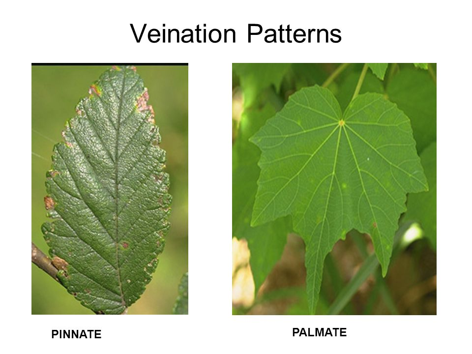 Veination Patterns PINNATE PALMATE