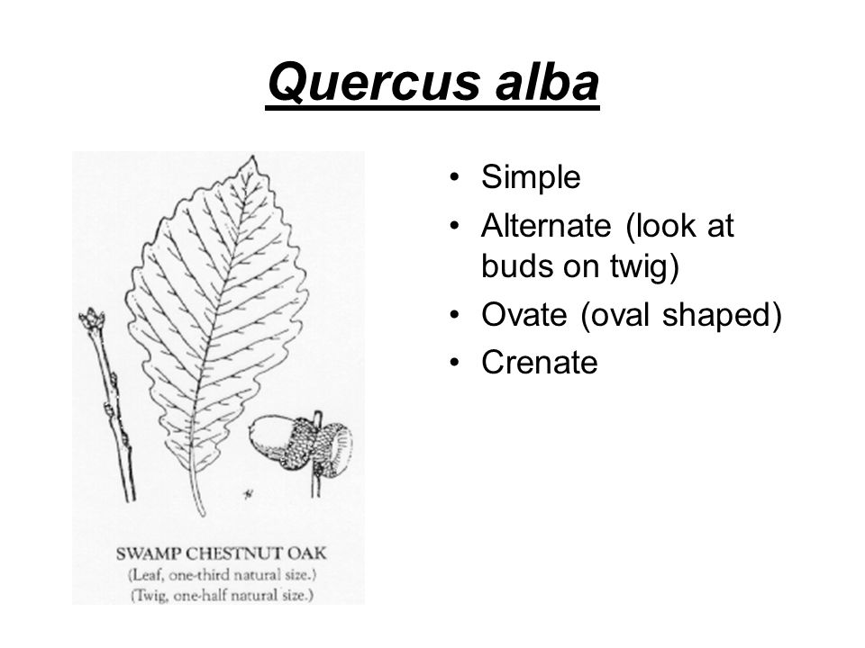 Quercus alba Simple Alternate (look at buds on twig) Ovate (oval shaped) Crenate