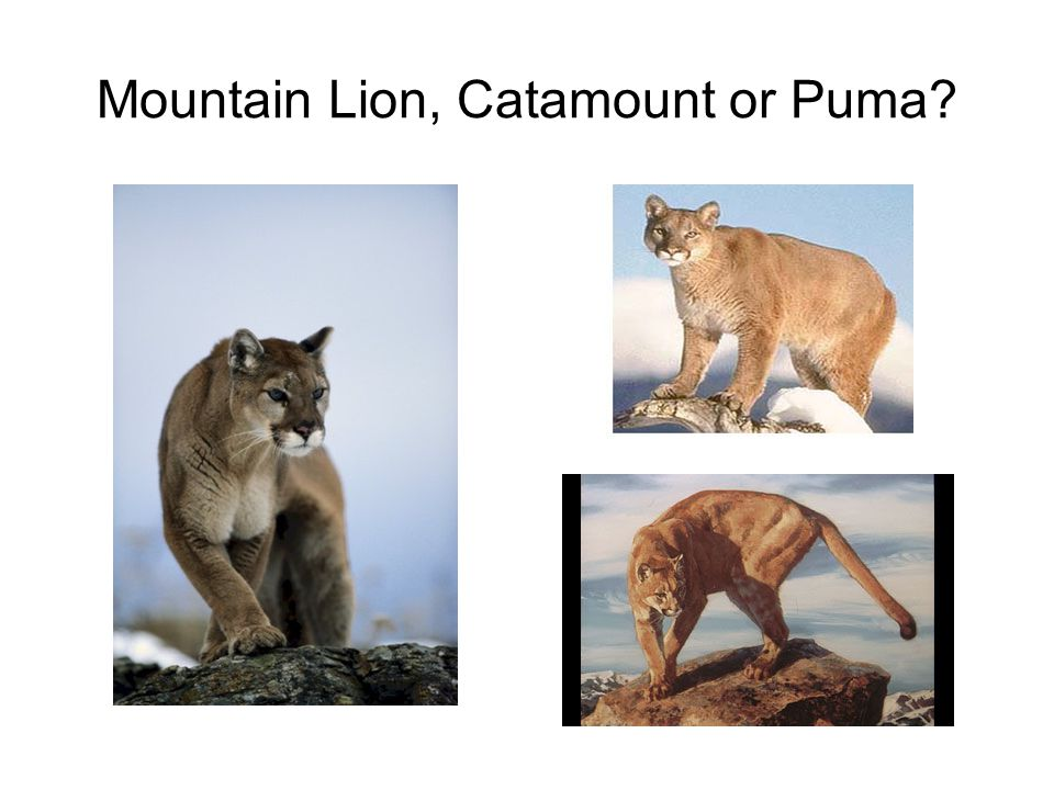 Mountain Lion, Catamount or Puma?