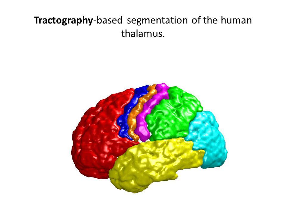 Tractography-based segmentation of the human thalamus.