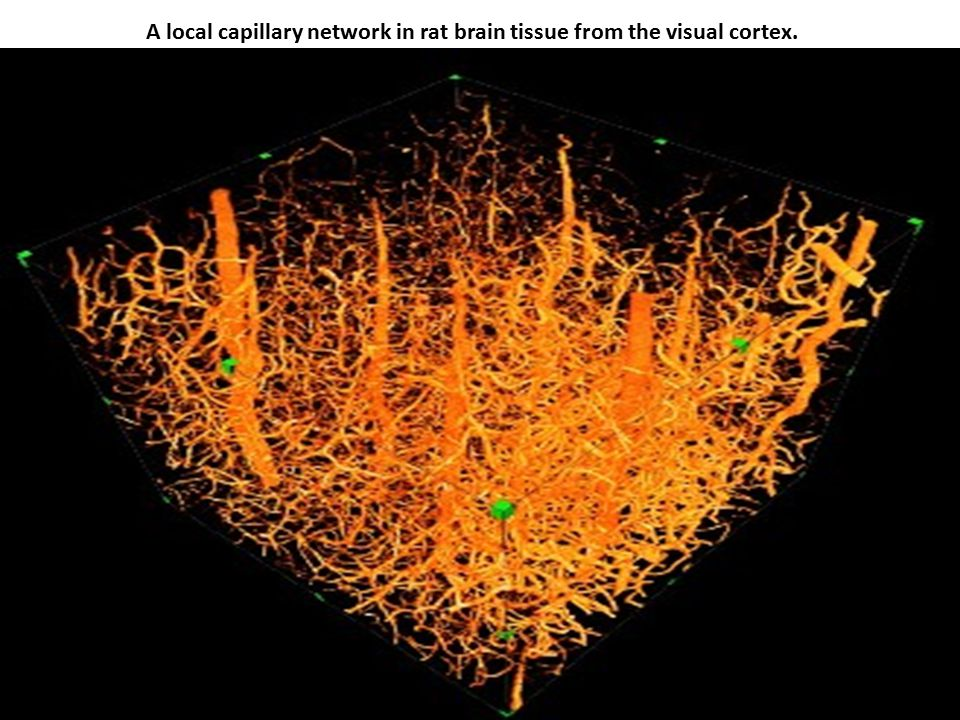 A local capillary network in rat brain tissue from the visual cortex.