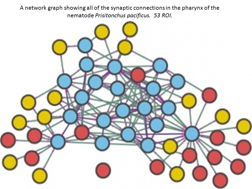 A network graph showing all of the synaptic connections in the pharynx of the nematode Prisitonchus pacificus.