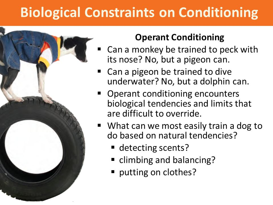Biological Constraints on Conditioning Operant Conditioning  Can a monkey be trained to peck with its nose? No, but a pigeon can.  Can a pigeon be t