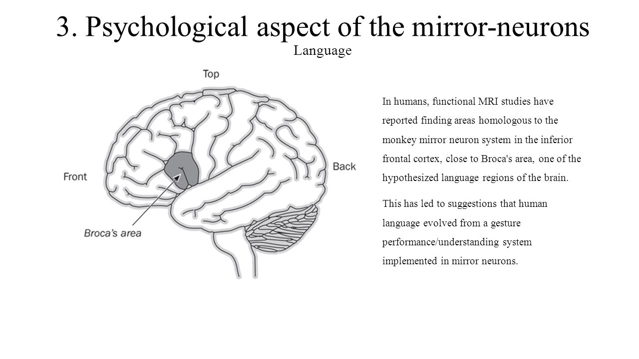 3. Psychological aspect of the mirror-neurons Language In humans, functional MRI studies have reported finding areas homologous to the monkey mirror n