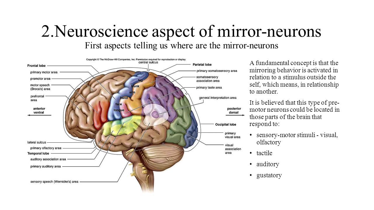 2.Neuroscience aspect of mirror-neurons First aspects telling us where are the mirror-neurons A fundamental concept is that the mirroring behavior is