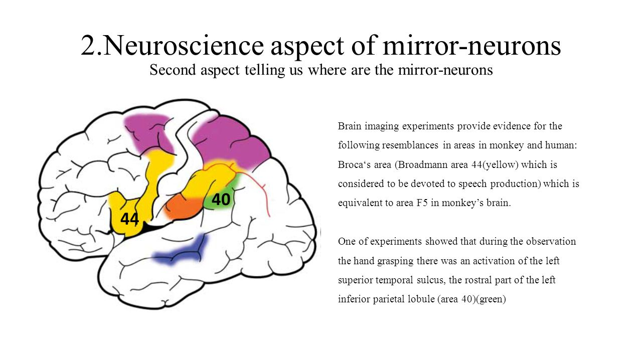 2.Neuroscience aspect of mirror-neurons Second aspect telling us where are the mirror-neurons Brain imaging experiments provide evidence for the follo