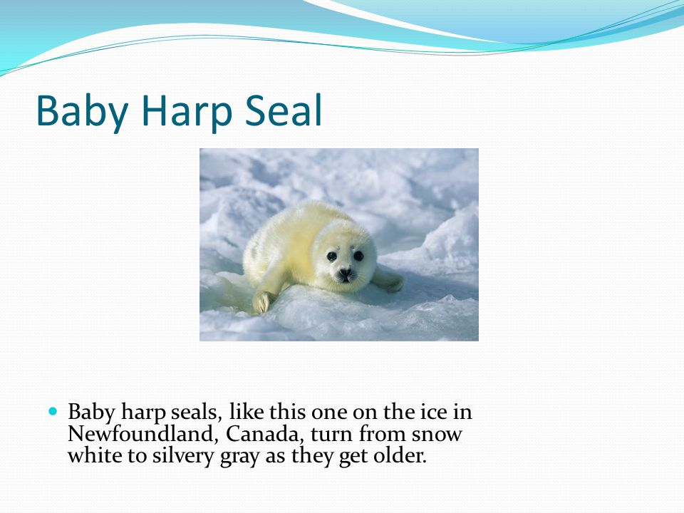 Baby Harp Seal Baby harp seals, like this one on the ice in Newfoundland, Canada, turn from snow white to silvery gray as they get older.