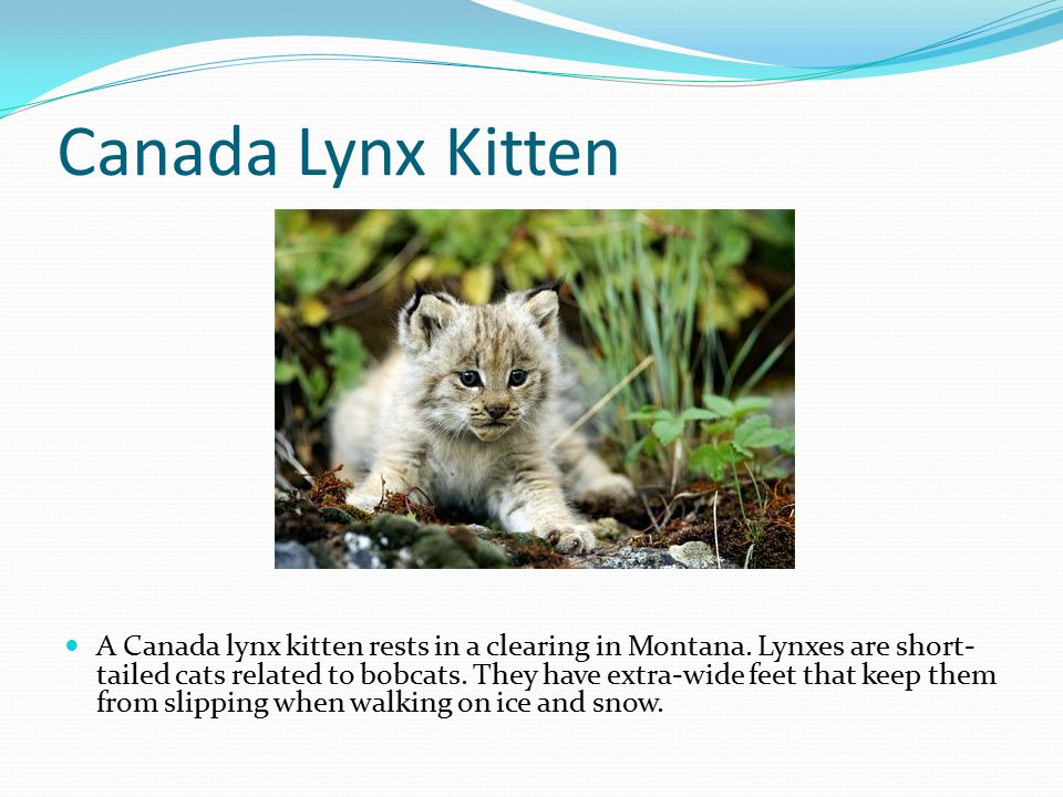 Canada Lynx Kitten A Canada lynx kitten rests in a clearing in Montana. Lynxes are short- tailed cats related to bobcats. They have extra-wide feet th