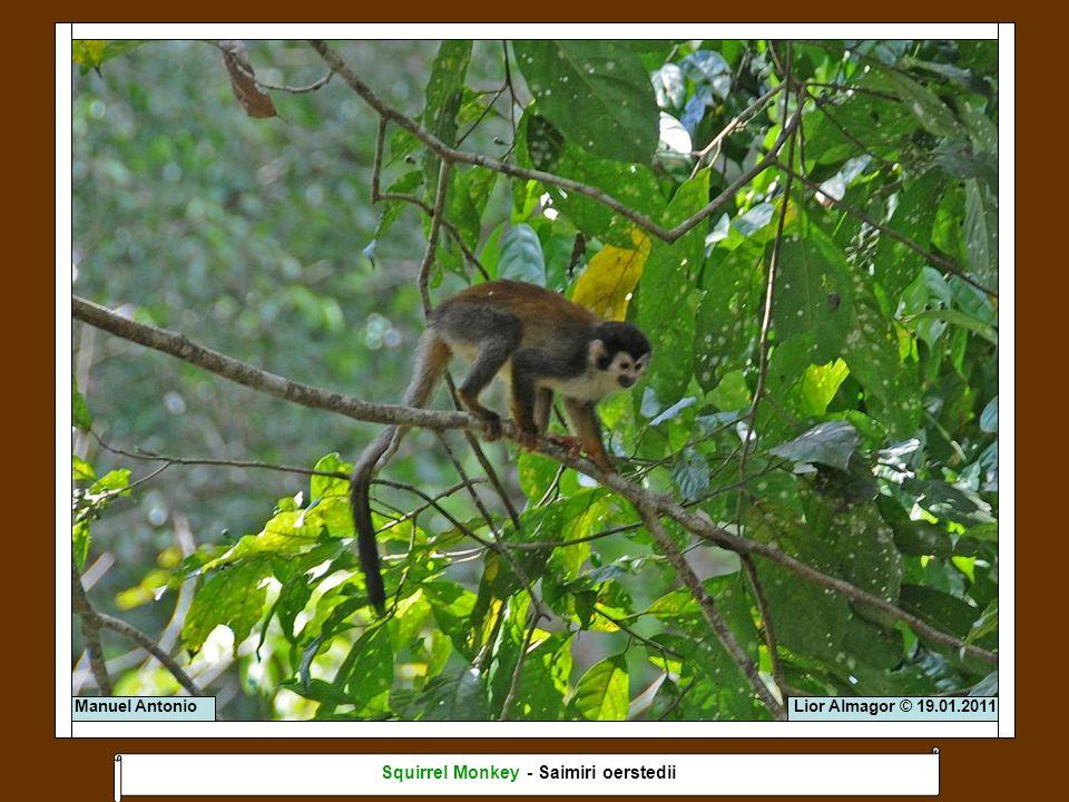 Lior Almagor © 19.01.2011 Squirrel Monkey - Saimiri oerstedii Manuel Antonio