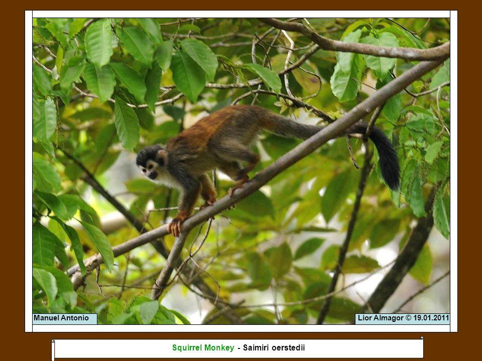 Lior Almagor © 19.01.2011Manuel Antonio Squirrel Monkey - Saimiri oerstedii