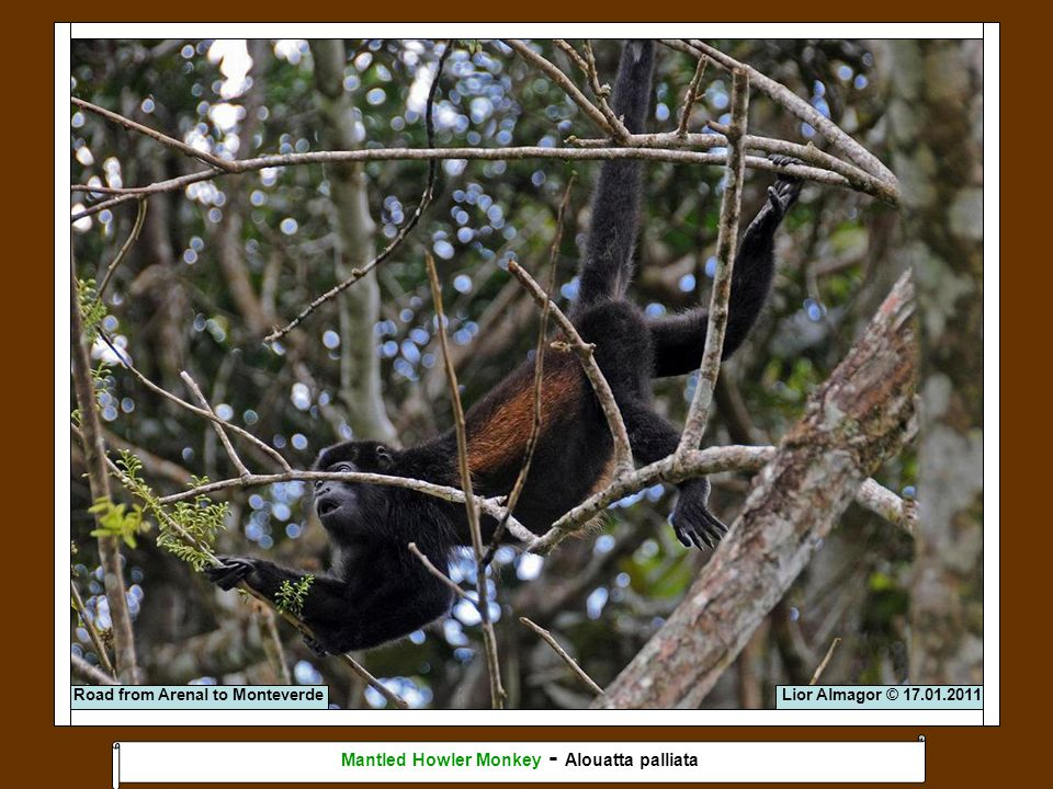Lior Almagor © 17.01.2011 Mantled Howler Monkey - Alouatta palliata Road from Arenal to Monteverde