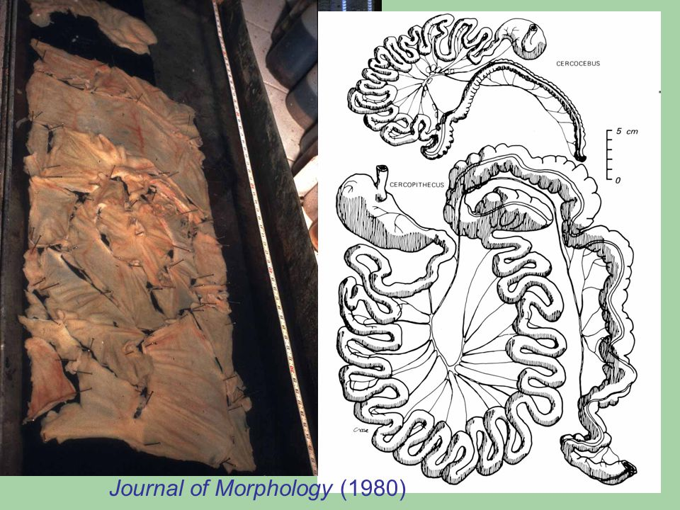 The digestive tract of a colobus monkey, Colobus polykomos (Gabon, 1972) Journal of Morphology (1980)