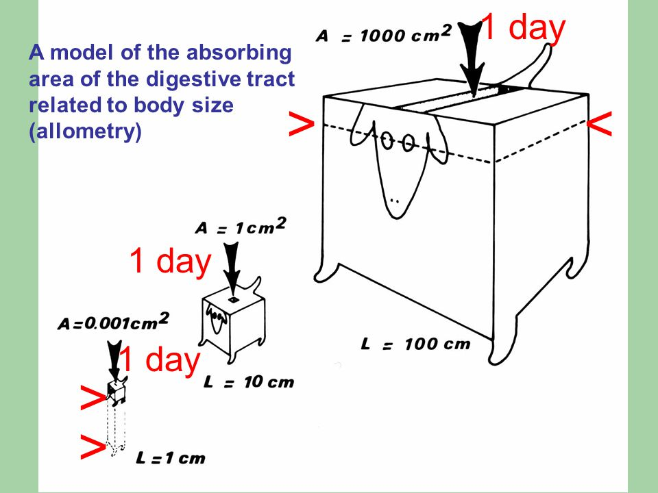 A model of the absorbing area of the digestive tract related to body size (allometry) 1 day > < > >