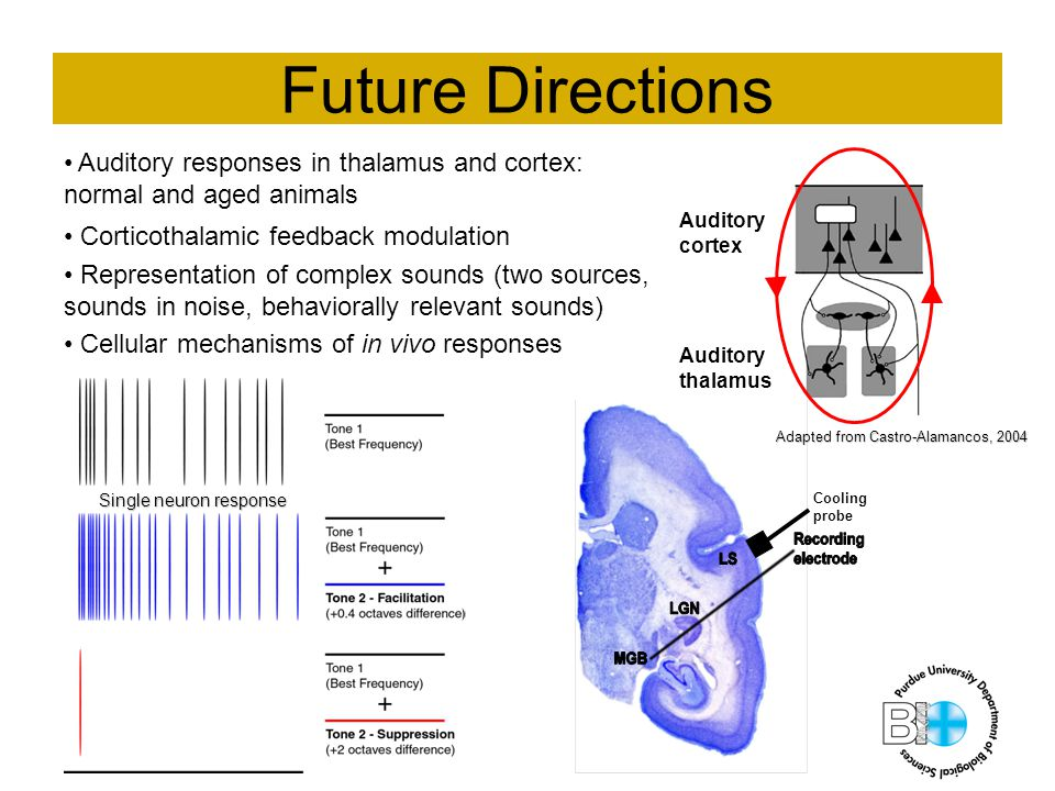 Future Directions Auditory responses in thalamus and cortex: normal and aged animals Corticothalamic feedback modulation Representation of complex sounds (two sources, sounds in noise, behaviorally relevant sounds) Cellular mechanisms of in vivo responses Auditory cortex Auditory thalamus Cooling probe Single neuron response Adapted from Castro-Alamancos, 2004