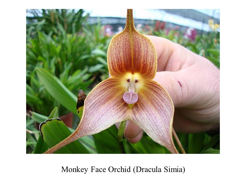 An orchid that ooks remarkably like a tiger
