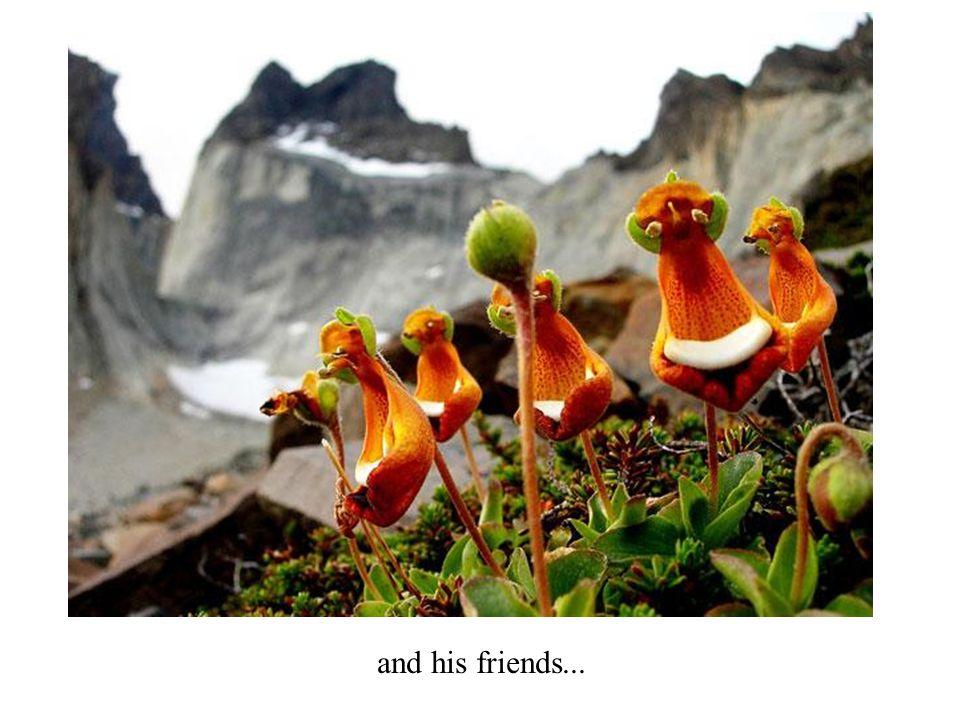 Happy Alien (Calceolaria Uniflora)